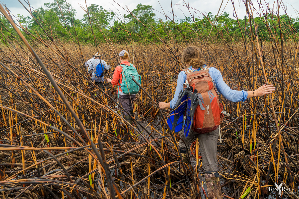 Hacking their way through cutting grass, researchers make their way to the last of 25 pools to be mapped and surveyed in Cara Blanca, Belize.