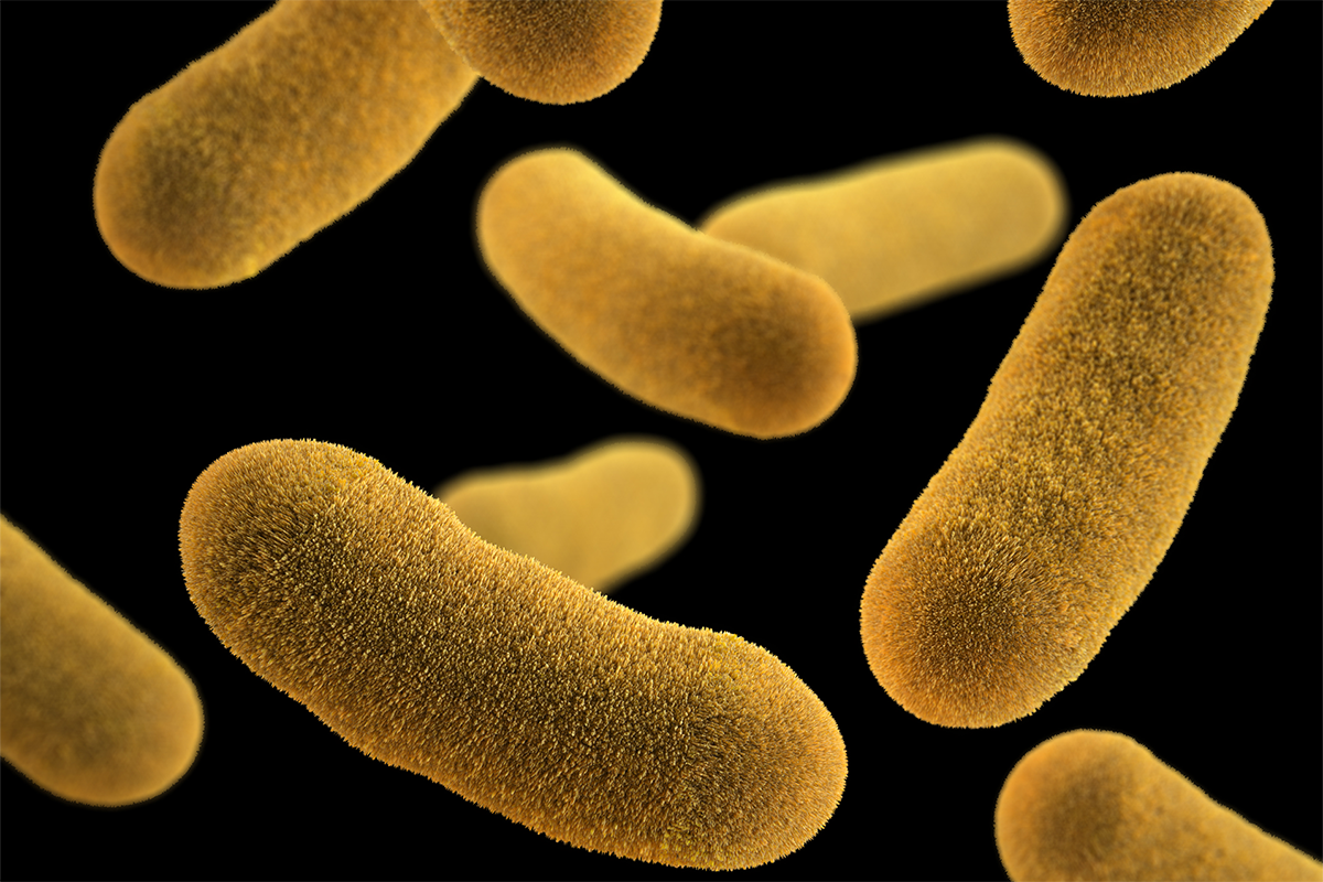 Disease-causing bacteria like Yersinia enterocolitica, pictured, communicate with chemical signals that allow them to respond collectively to environmental changes. Researchers hope to harness these signals to fight bacterial infections.