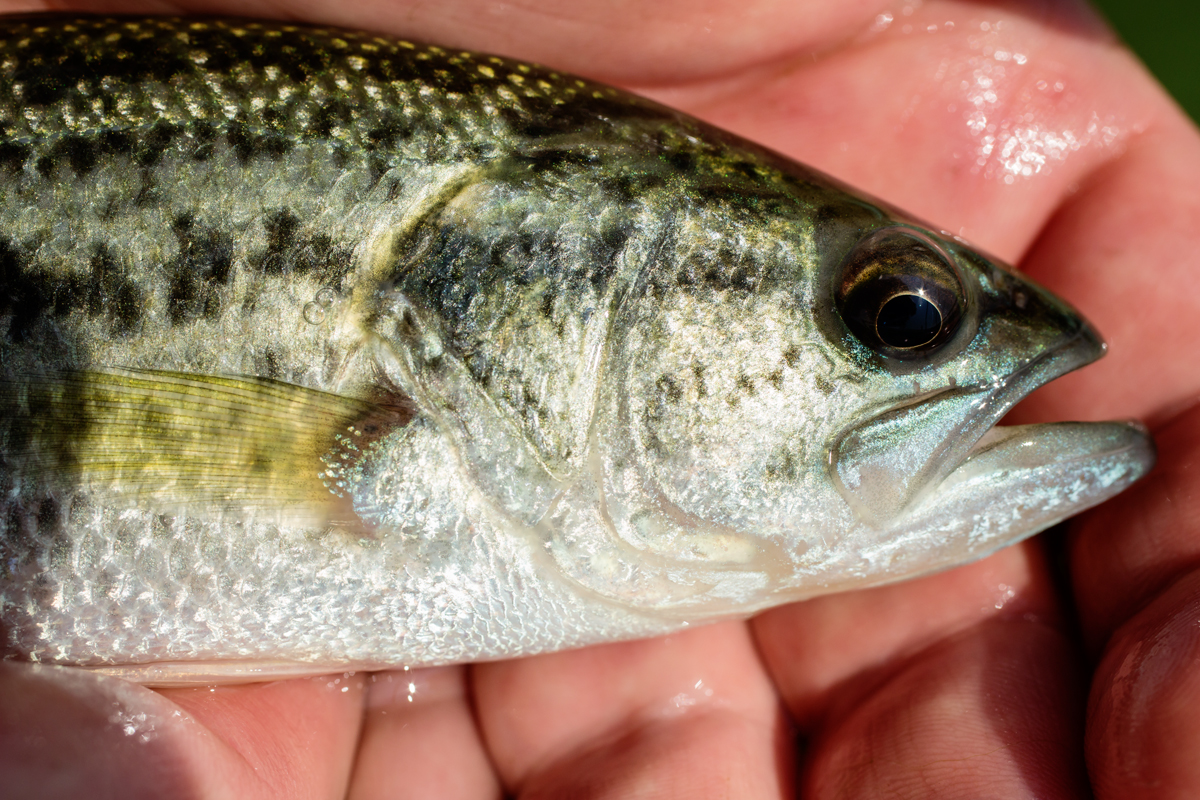A new study of stress responses in largemouth bass found that those that are less likely to strike at a fishing lure also tend to experience higher cortisol levels after a stressful encounter.