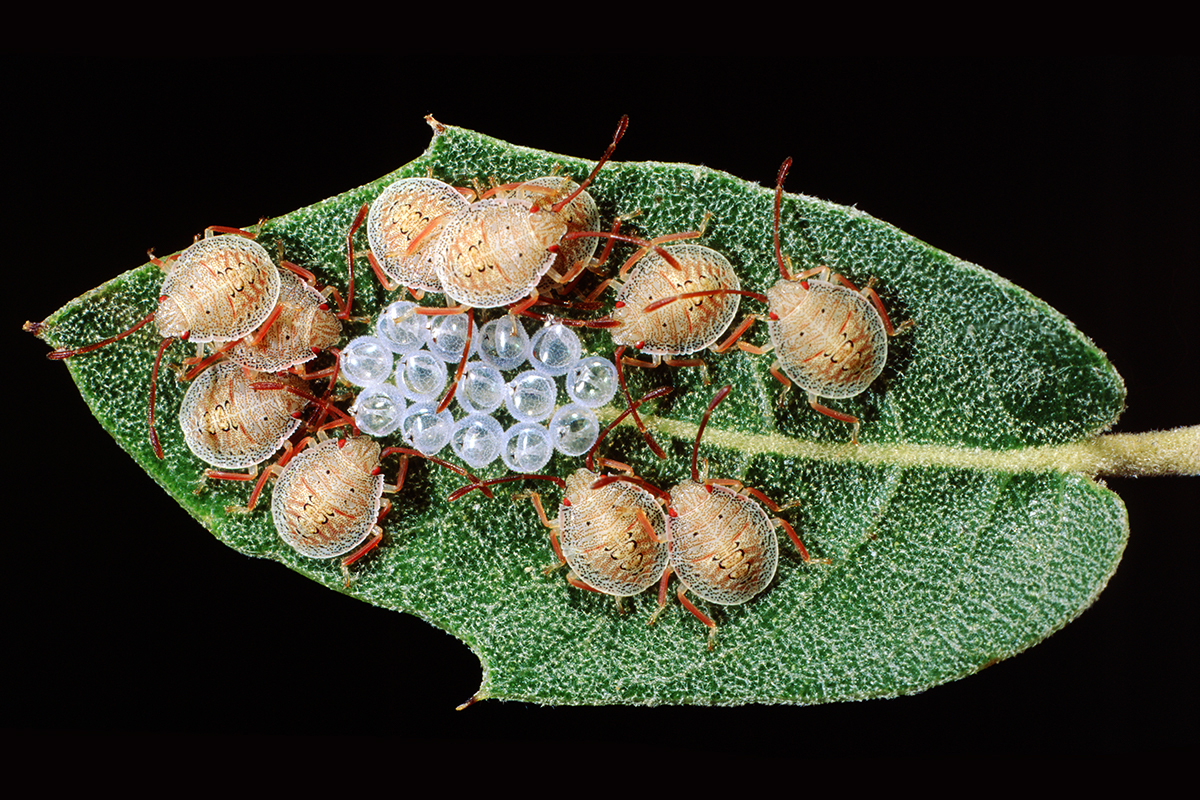 The author discovered stink bug babies on the underside of a leaf.