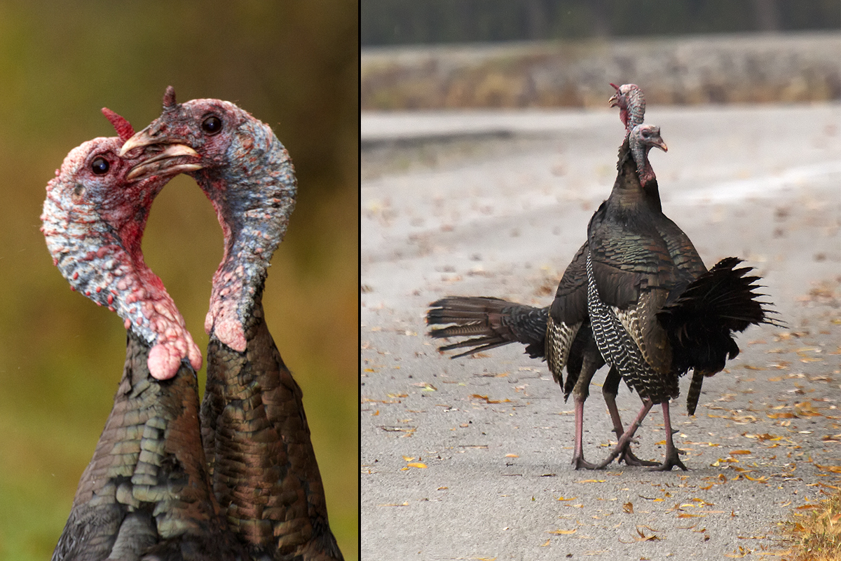 Two male turkeys tussle, oblivious of the photographer capturing their dance.