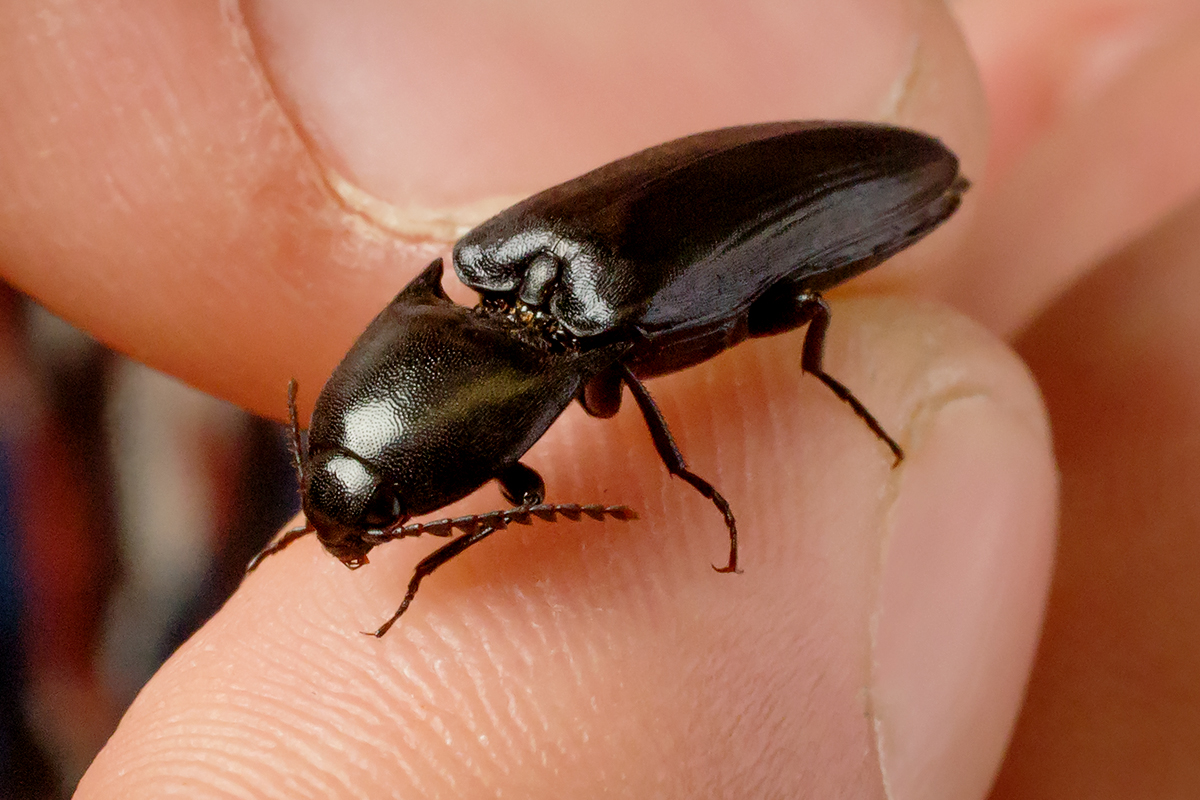 Click beetles can jump without the aid of their limbs when they are tipped onto their backsides. A team of University of Illinois researchers are examining this mechanism to engineer self-righting robots.