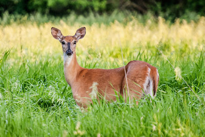 Chronic Wasting Disease afflicts white-tailed deer (pictured), mule deer, moose, reindeer and elk.