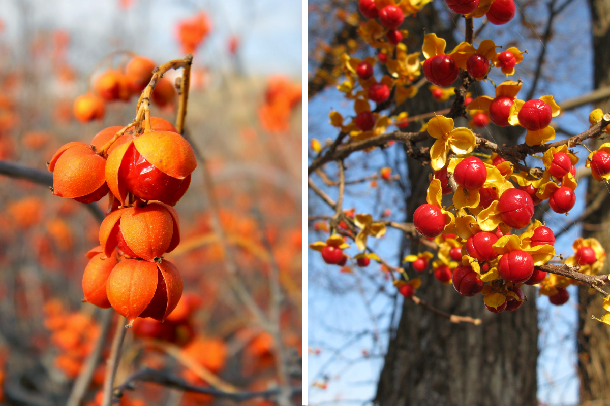 American bittersweet, left, has red berries encased in orange capsules, while oriental bittersweet, right, has red berries encased in bright yellow capsules.