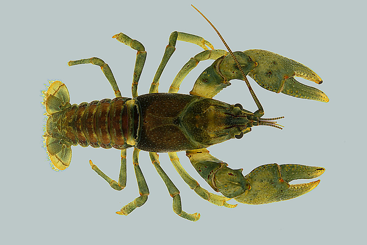 The crayfish Faxonius eupunctus is rare and under consideration for endangered species status.