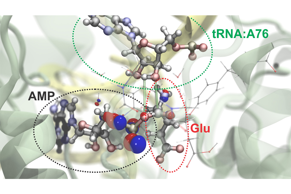 Researchers can simulate atomic and subatomic dynamics in large molecular systems. Here is a visualization of the process by which the amino acid glutamate (Glu) is attached to a specific region of its transfer RNA (tRNA).