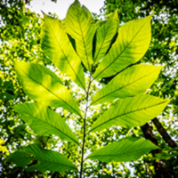 Sunlight filters through the leaves of a pawpaw tree.