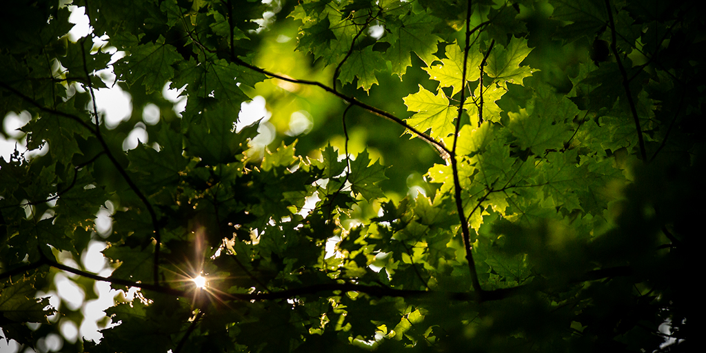Sunlight filters through maple leaves in the forest canopy.