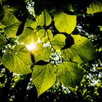 Leaves of an American basswood tree in Trelease Woods.