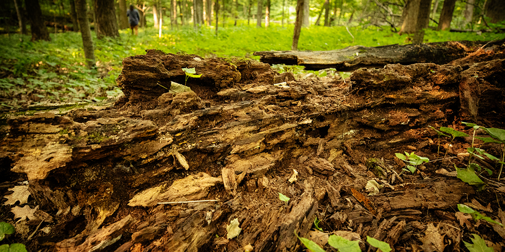 The remains of a giant fallen tree crumble into the earth.
