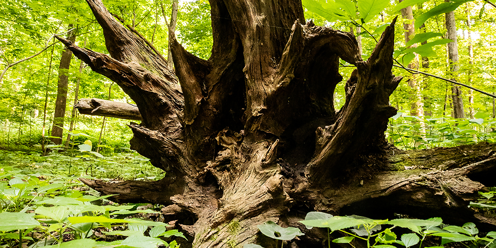 Photo of the roots of a toppled tree.