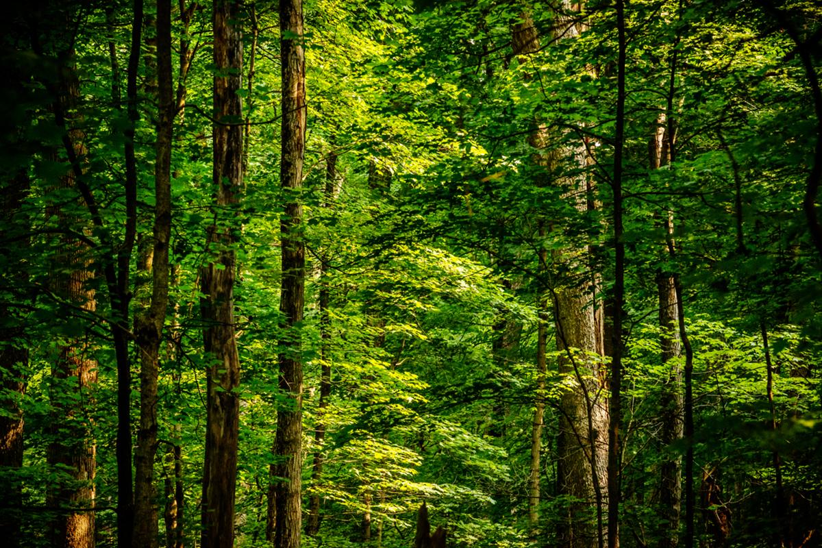 Photo of tree canopy.