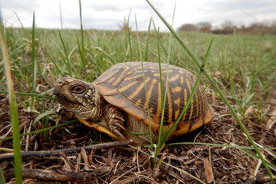 A census of ornate box turtles will help researchers determine the turtles' status in Illinois.