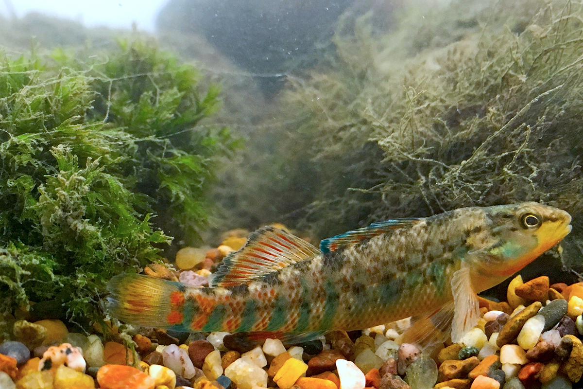 A new study of orangethroat darters reveals that the males ability to recognize their own and other species drives the evolution of their bright display colors.