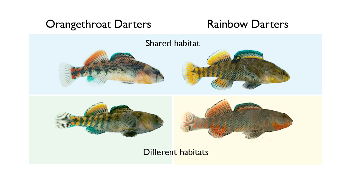 Study: In darters, male competition drives evolution of
