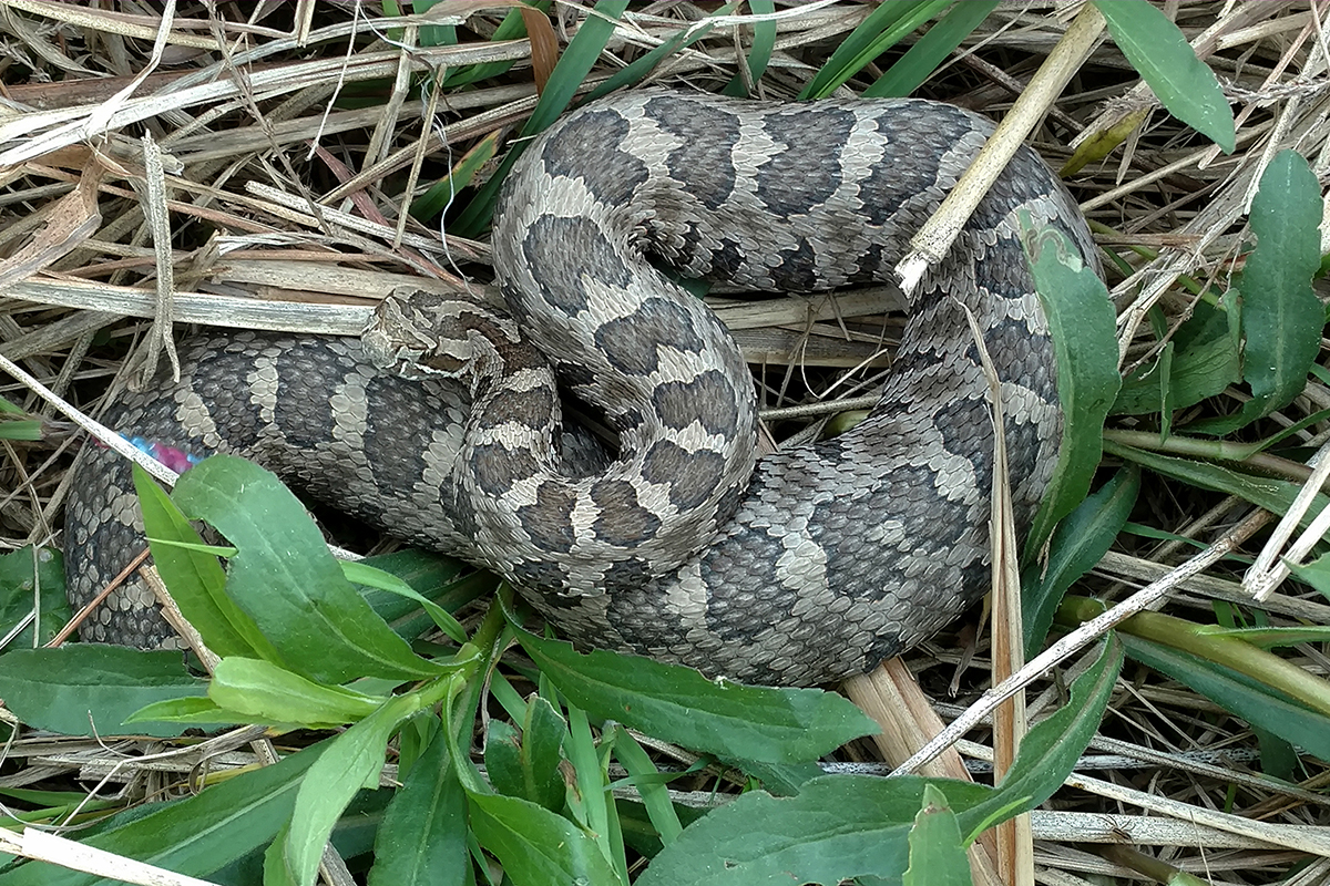 Eastern massasauga rattlesnakes are in decline in Illinois.