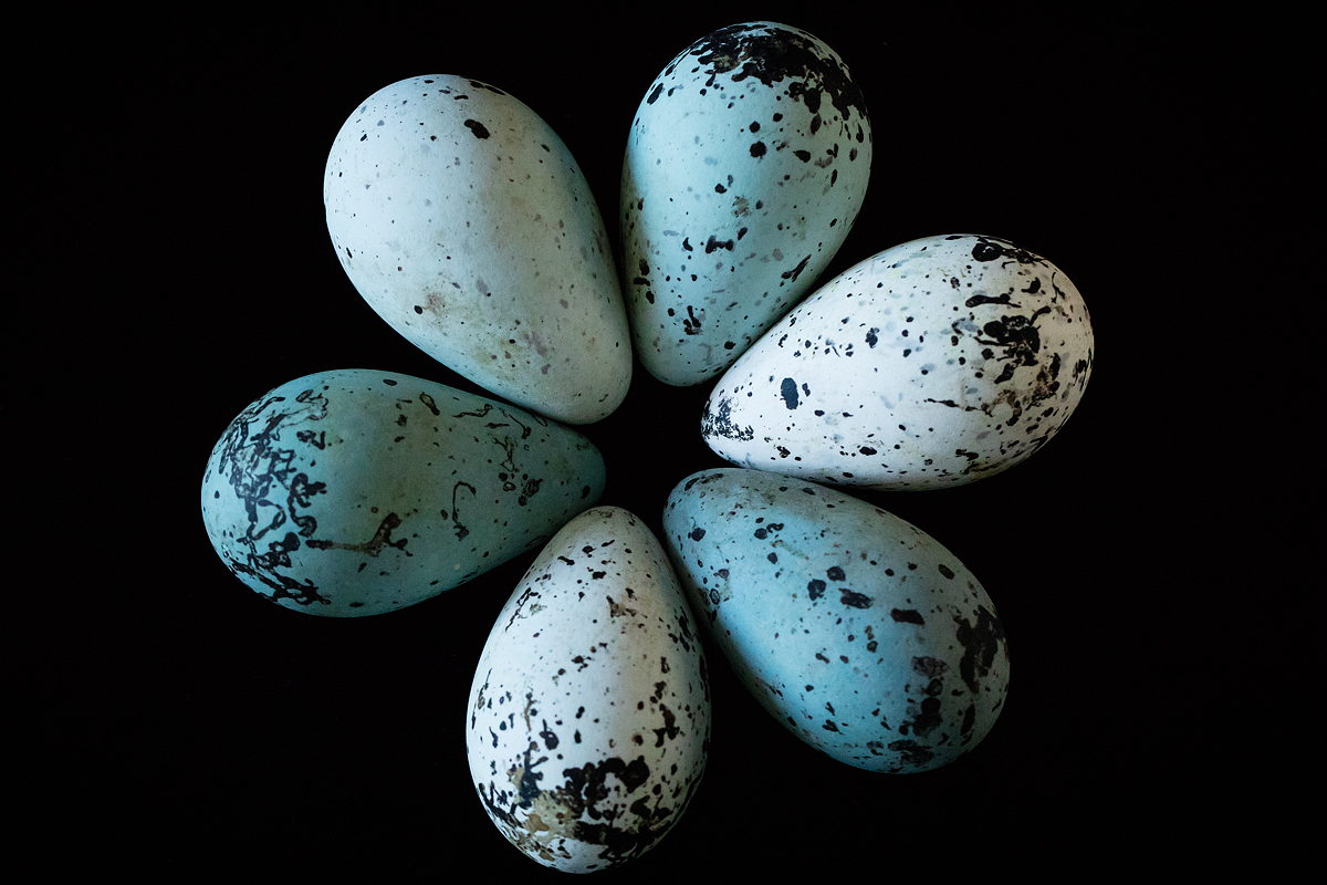 Pointiness pays off for the eggs of cliff-dwelling birds, a new study reveals.