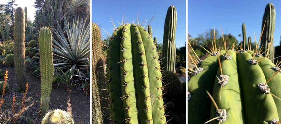 Scientists Study Puncture Performance Of Cactus Spines Illinois