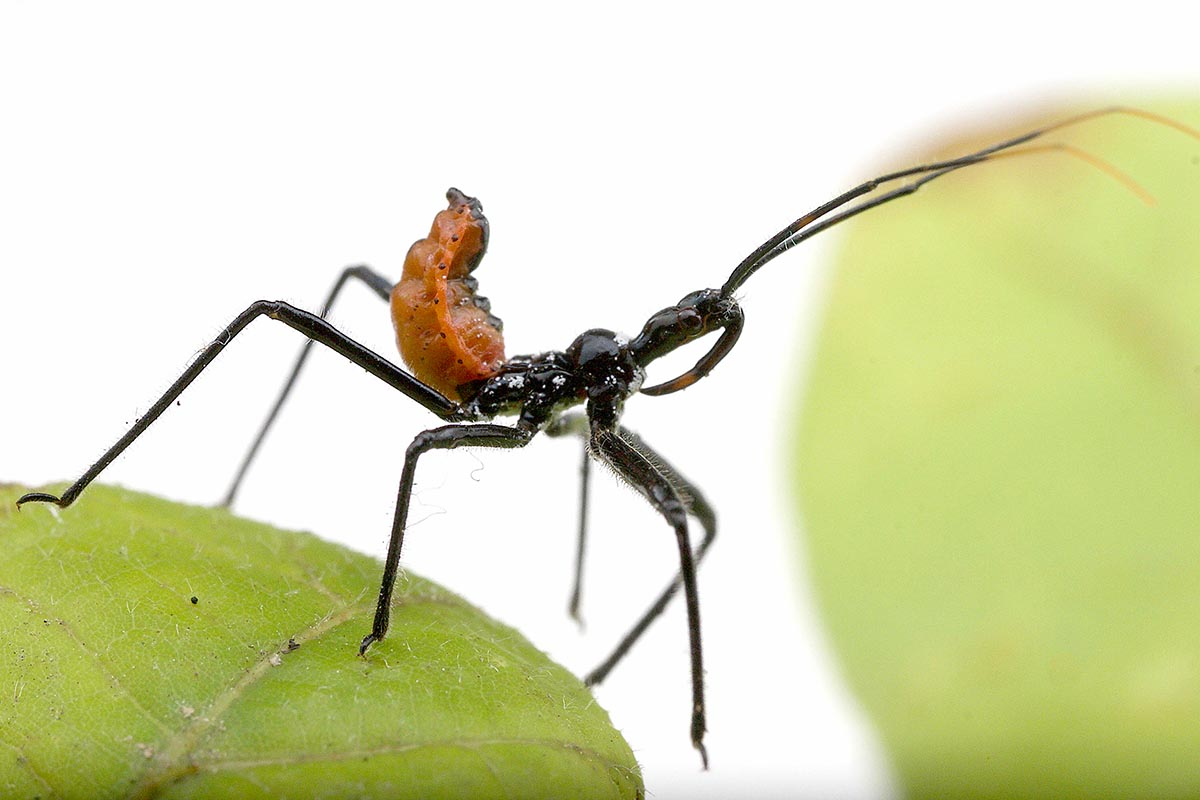 An assassin bug of the family Reduviidae.
