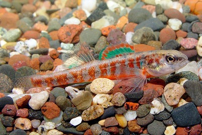 Scientists are finding Iowa darters in Illinois streams that are too small to map.
