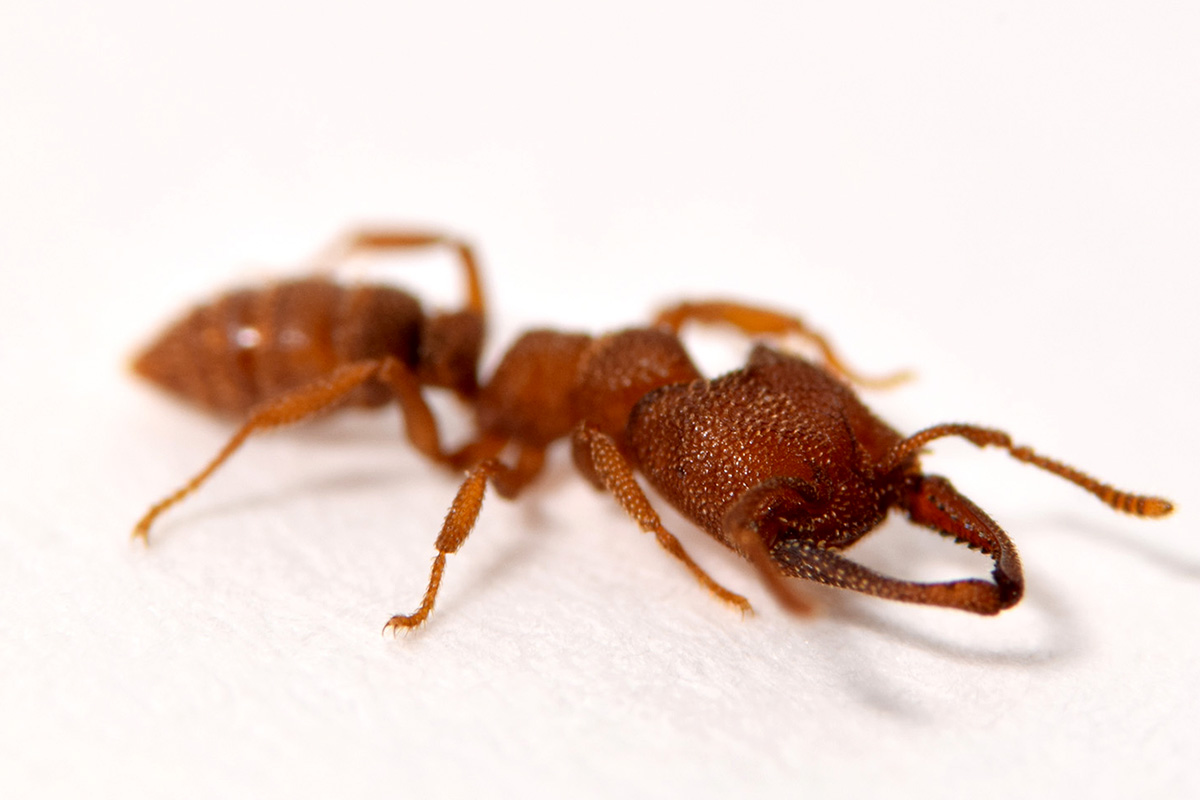 The mandibles of the Dracula ant, Mystrium camillae, are the fastest known moving animal appendages, snapping shut at speeds of up to 90 meters per second.