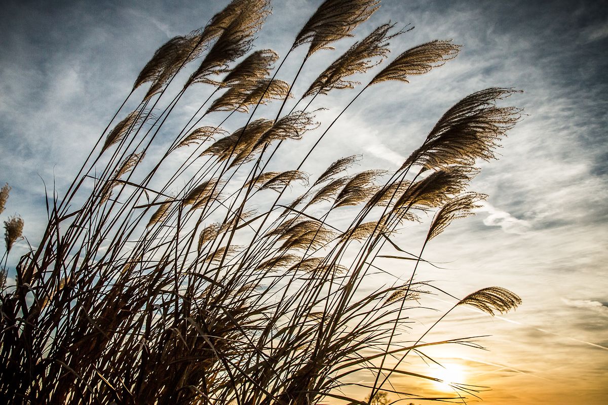 The sun sets behind tall grass.