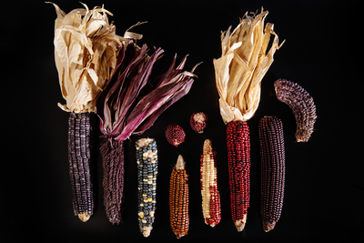 The pericarp of purple corn kernels is loaded with healthy anthocyanins and could provide manufacturers with a natural form of pigments for foods and beverages