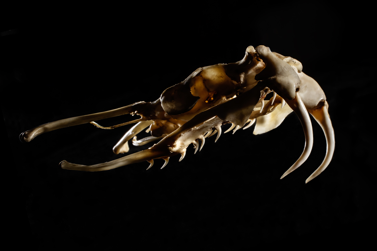 Like other vipers, puff adder skulls have hinged jaws that deploy the fangs when the animal opens its mouth to strike.