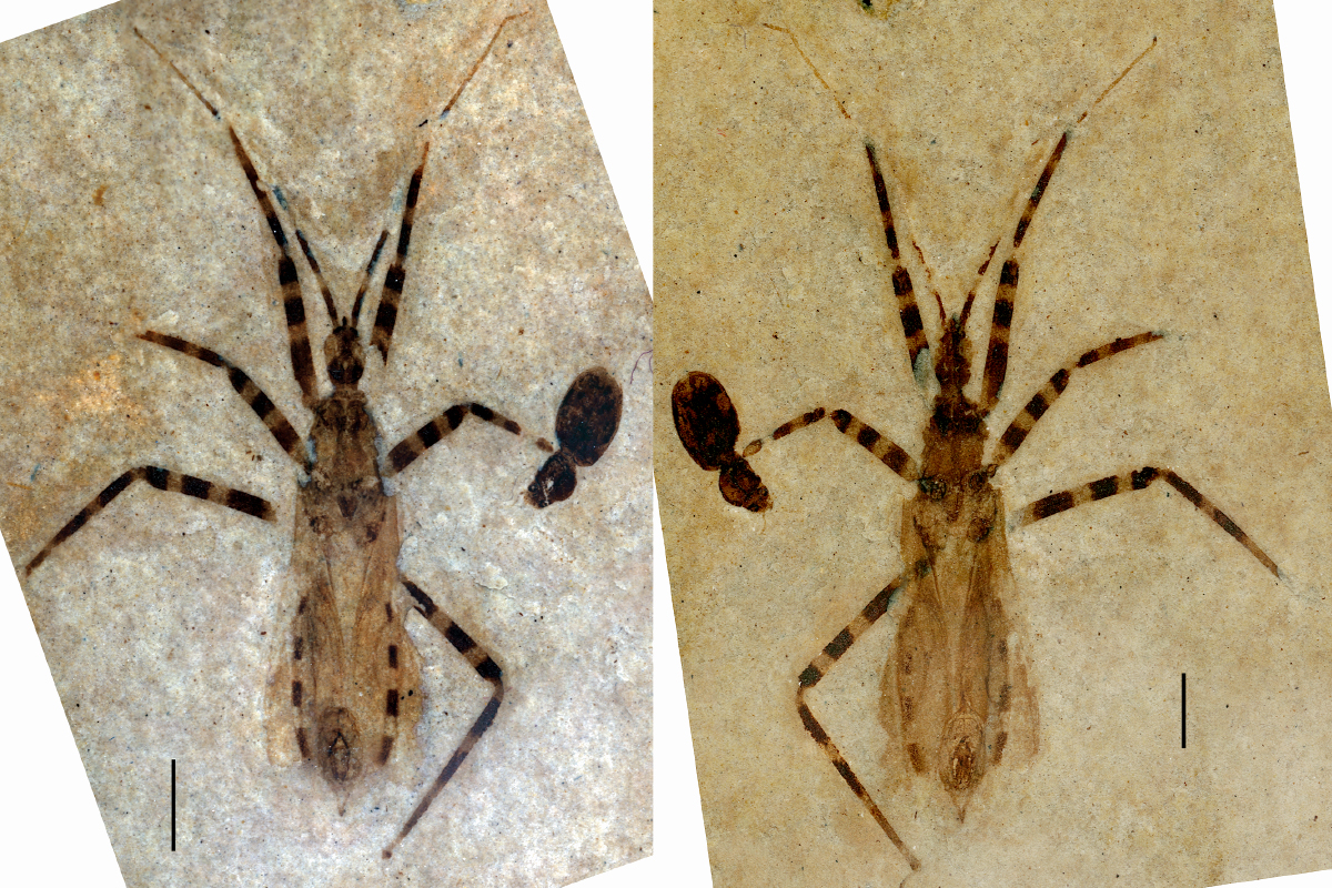 Photos of both halves of the fossil, showing the assassin bug's banded legs and abdomen, and with a view of the genital capsule called the pygophore, which is shaped like a tiny almond with some hard structures inside.