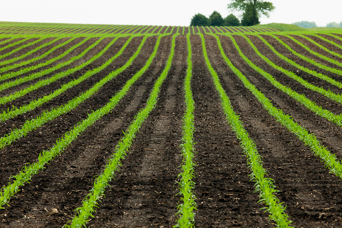 University of Illinois scientists have linked historical crop insurance, climate, soil and corn yield data to quantify the effects of excessive rainfall on corn yield.