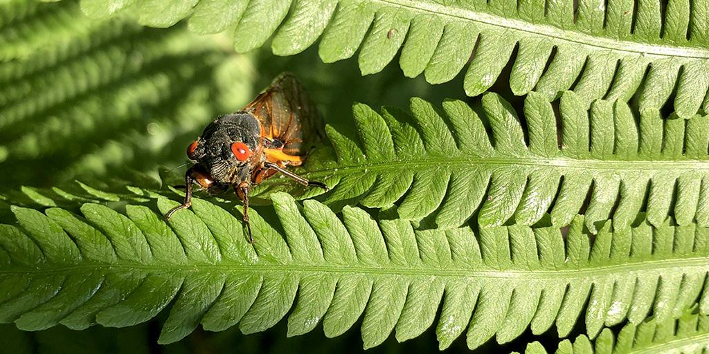 A red-eyed cicada rests on a fern.