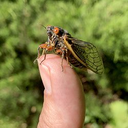 A cicada perches on the authors thumb.