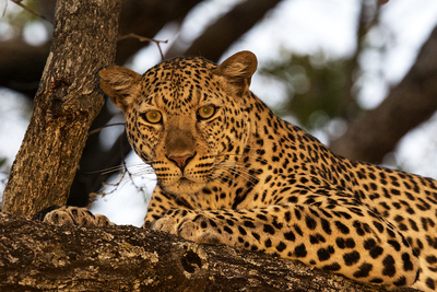Stunning closeup of a leopard in a tree. The leopard is lit with an intense yellow morning or evening light. It is peering into the camera and looks relaxed.