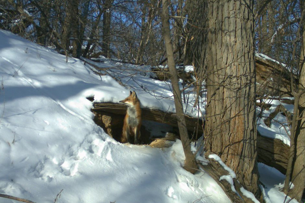 A trail camera captured images of a fox in its den on the UW campus.