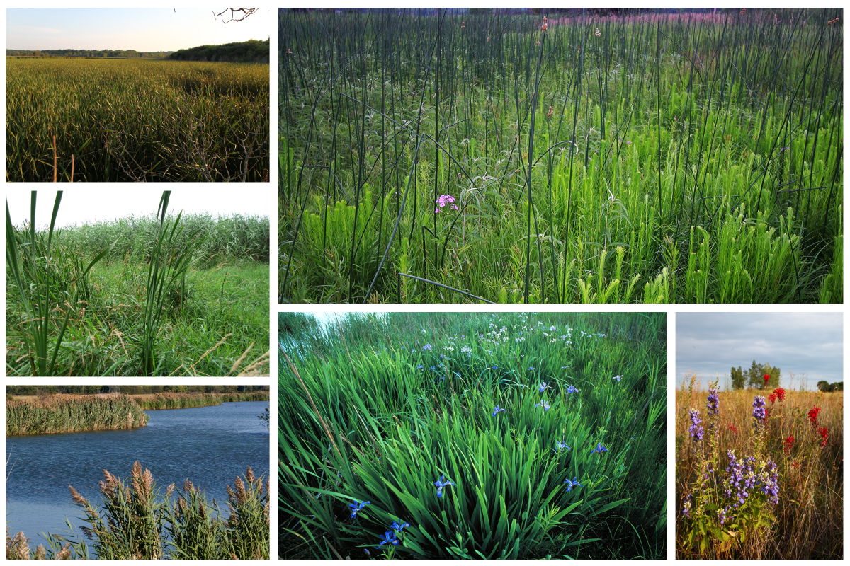 Even when they dominate a wetland site, native plants, right, tend to coexist with a greater diversity of other native plants than when non-native plants, left, are dominant.