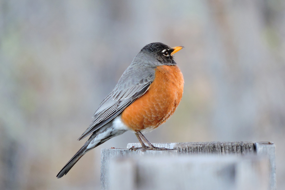 Unlike many other species, American robins are often able to detect and remove eggs that brown-headed cowbirds or other brood parasites deposit in their nests.