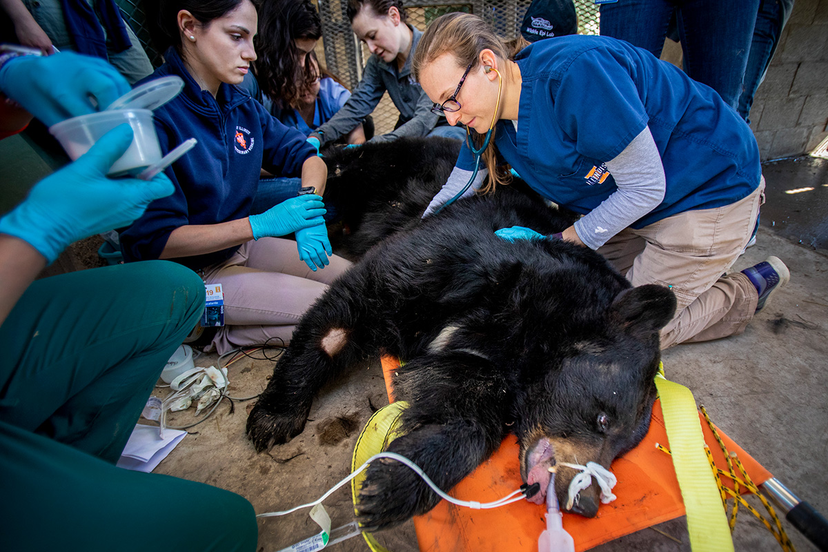 Veterinary medicine students perform general wellness checks on the animals at Wildlife Prairie Park in Peoria County. Zoological resident Lauren Kane helps guide the students as they examine Molly, an American black bear.