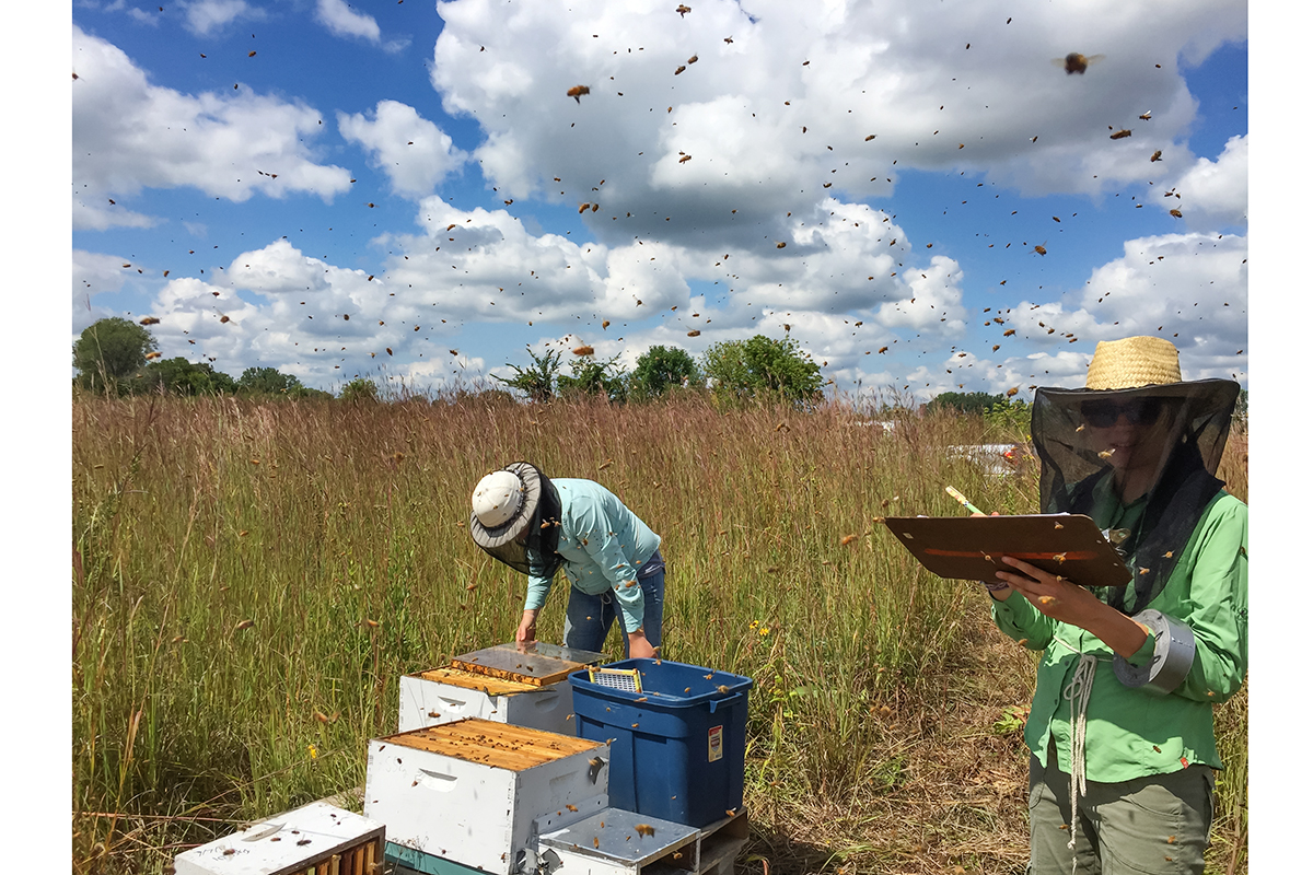 Honey bee hives placed near flowering prairies in late summer and early fall were much healthier than those left near soybean fields after August, the researchers found.