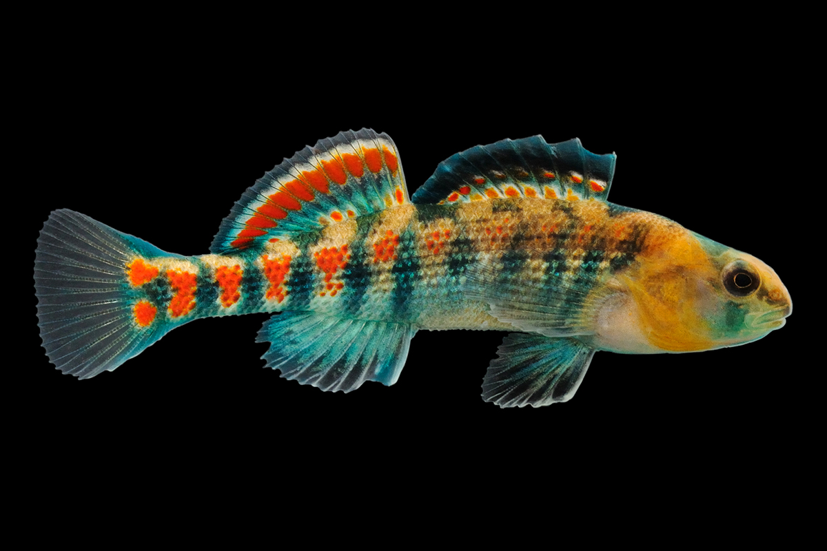Researchers sequenced the genome of the orangethroat darter, pictured, and compared it with that of the rainbow darter, a closely related species.