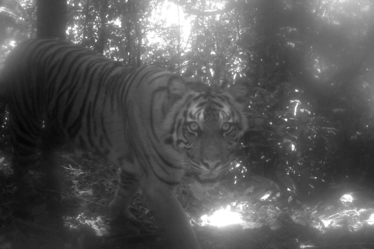 A camera-trap study in a national park in Sumatra captured images of critically endangered wildlife, like this Sumatran tiger (Panthera tigris sumatrae).