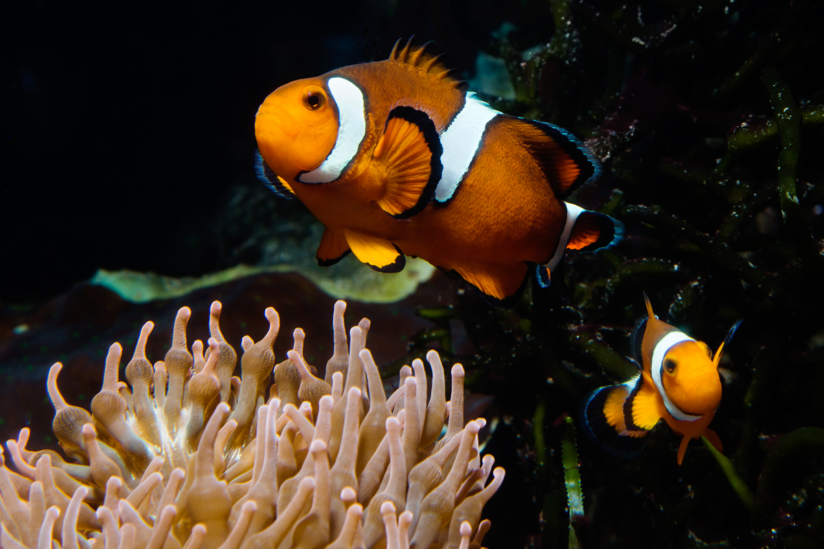 Anemonefish spend their lives in close proximity to their anemones. Females are larger and usually defend the nest; males spend more time tending to the eggs.