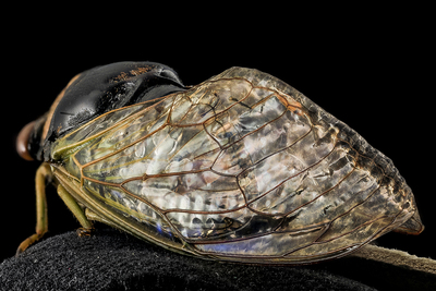 Scientists are exploring the structural and chemical characteristics of cicada wings.