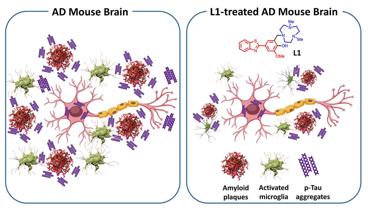 Single molecule, L1, reduces multiple Alzheimer's pathologies