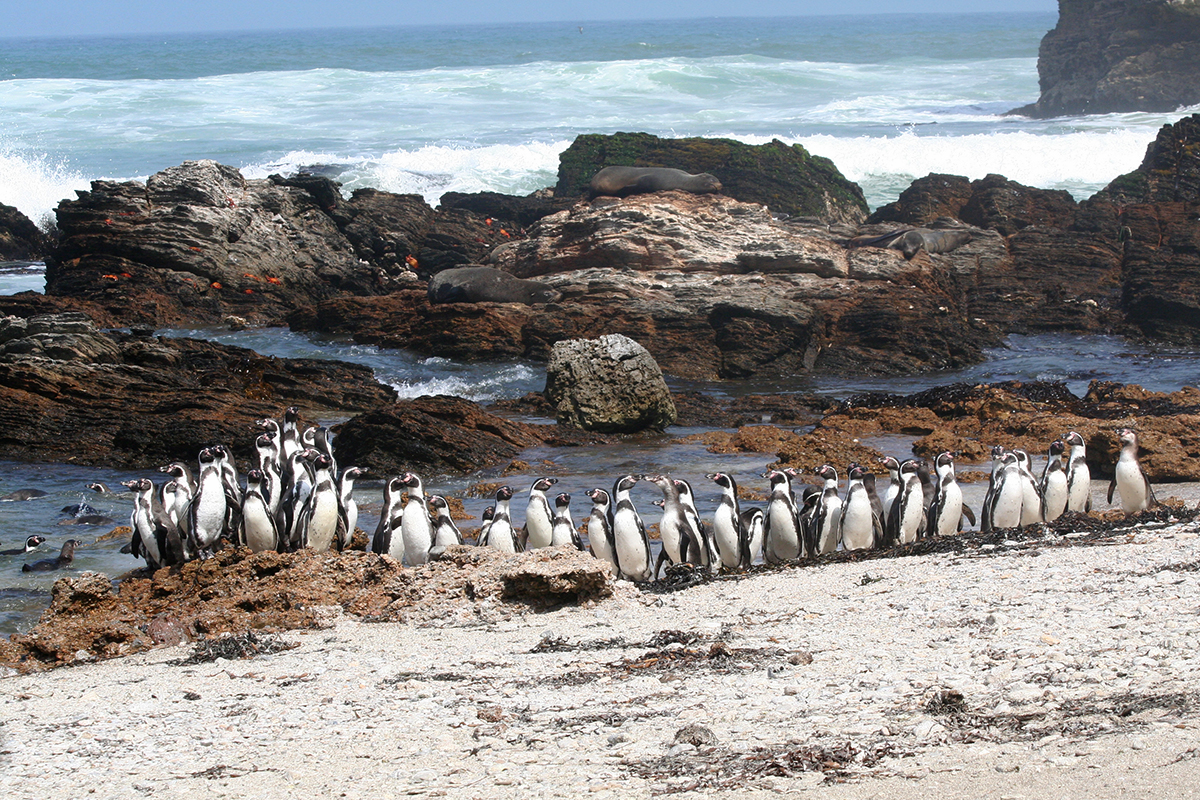 A new study of Humboldt penguins reveals metabolic differences between those that nest in sheltered and exposed areas.