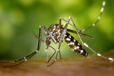 An Asian tiger mosquito prepares to feed on a human hand.