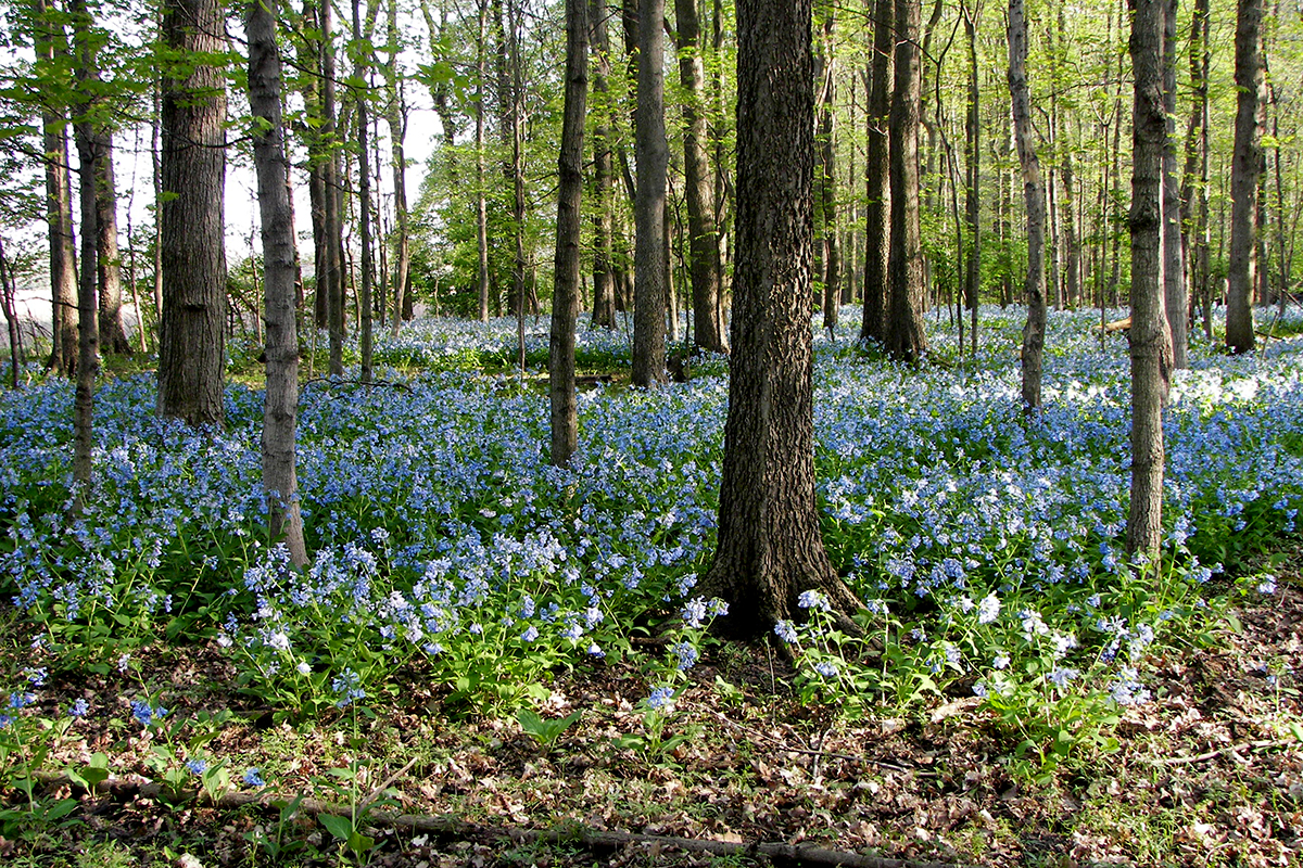 Image shows a field of blooming bluebells under a canopy of trees in the forest