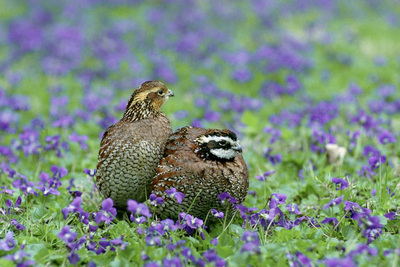 Two bobwhites huddle together in a field of purple flowers.