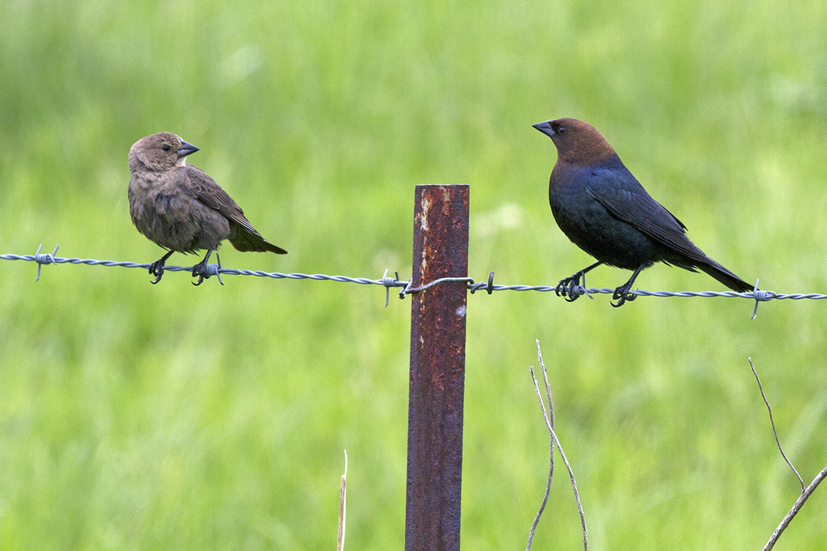 A female, left, and male cowbird perch on a wire fence. They appear to be looking at one another. Both birds are adults.