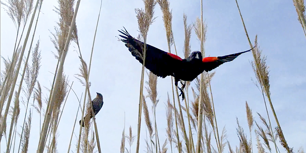 Red-winged blackbirds aggressively defend their nests. This airborne male swoops at the author while the female guards her nest.