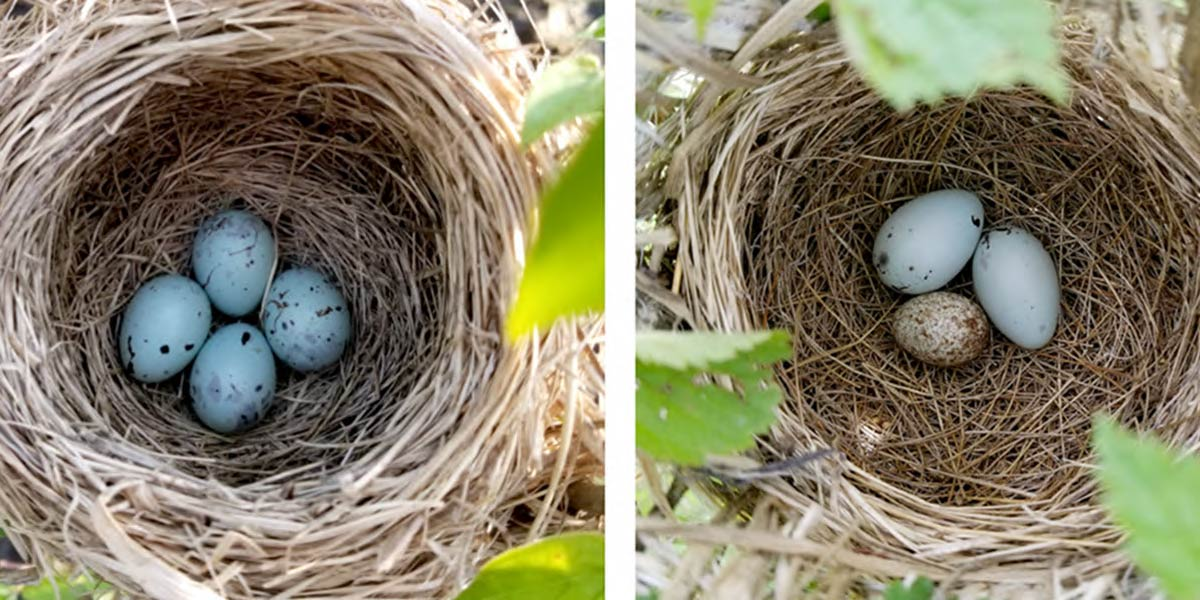 Two red-winged blackbird nests with eggs. The one on the right contains two blackbird eggs and one cowbird egg.